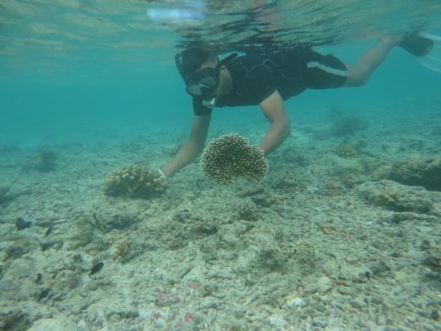 Korallenumsiedlung Malediven