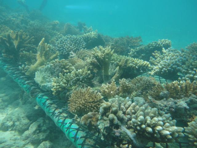 Rettungsaktion Korallen Malediven