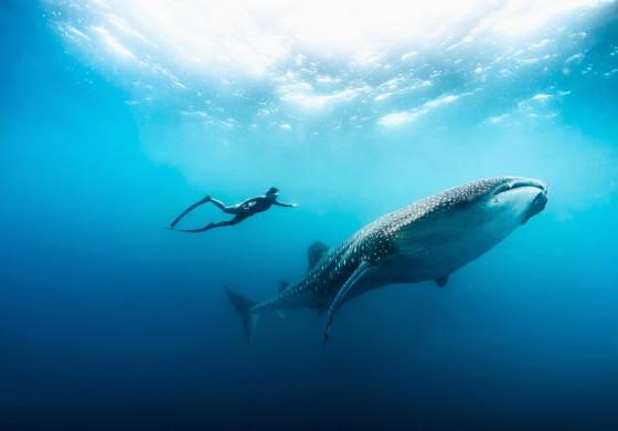 Freediving mit Manta & Wahlhai